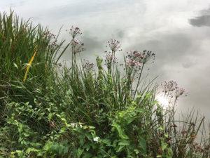 Tiefenauer Teiche, Pflanze